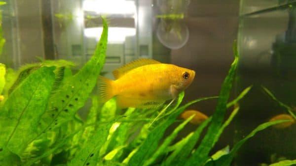 Гурами медовый - красивая рыбка в аквариуме