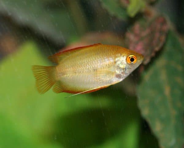 Гурами медовый - прекрасная рыбка