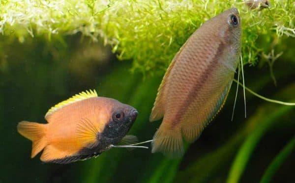 Гурами медовый - удивительная рыбка