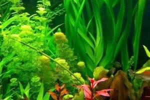 аквариум с жесткими листьями