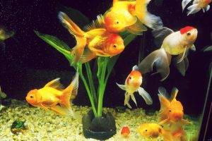 Рыбка оранда разведение