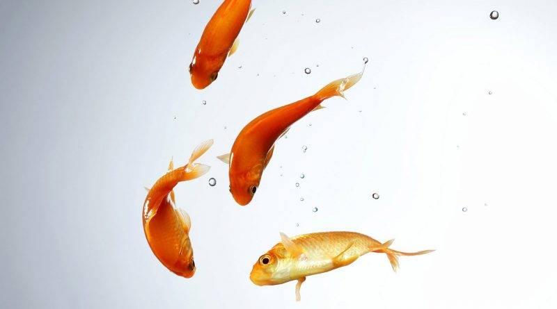 Zolotye rybki