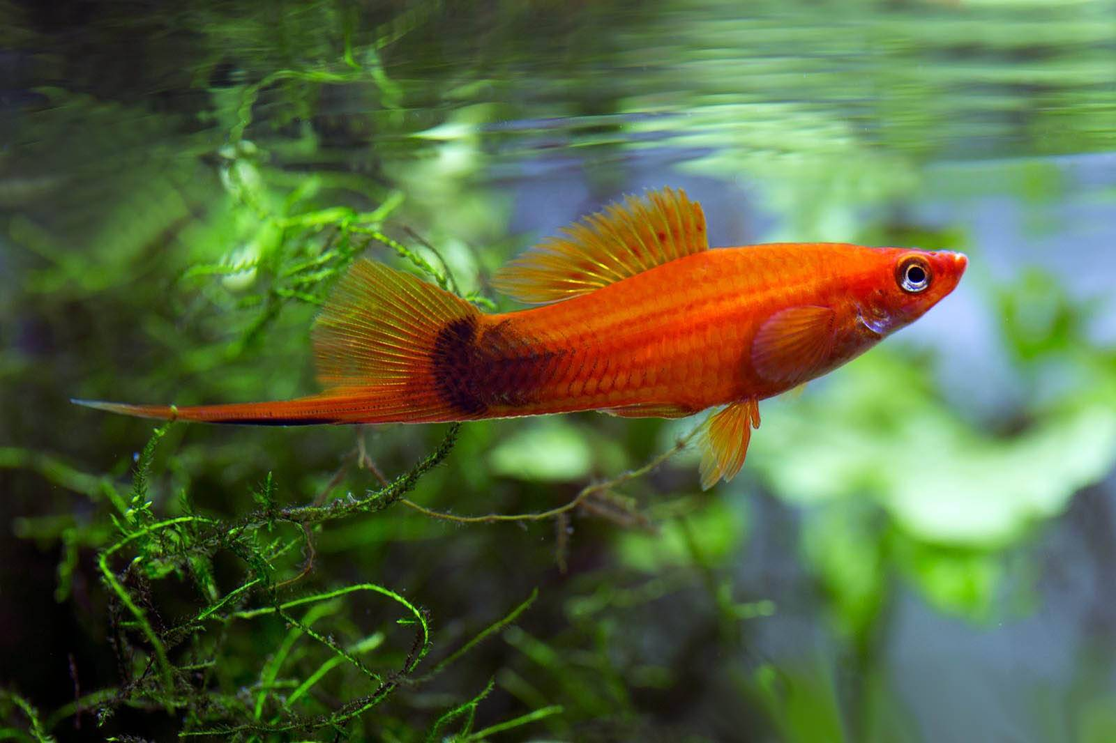 Меченосец - живородящая рыбка