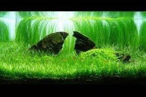 Парвула в аквариуме