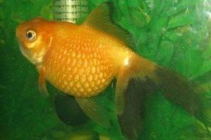 У-рыбки-вздулся-живот-причина-и-что-делать