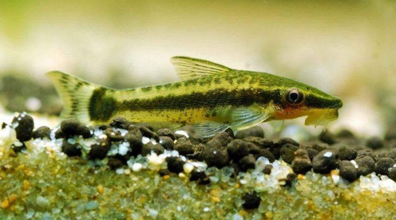 Отоцинклюс и другие аквариумные чистильщики