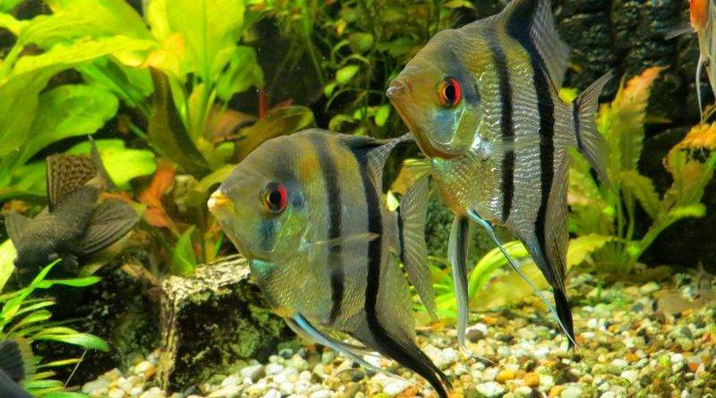 Самые умные аквариумные рыбки