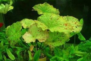 Аквариумные плавающие растения