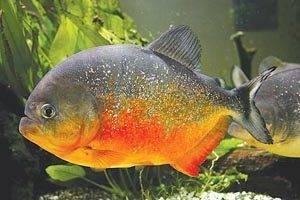 Агрессор аквариума
