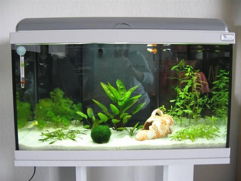 Красивая кладофира в аквариуме