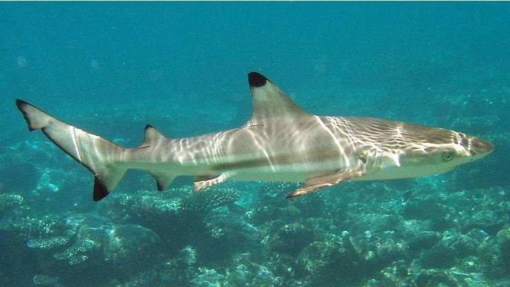 Мальгашская акула