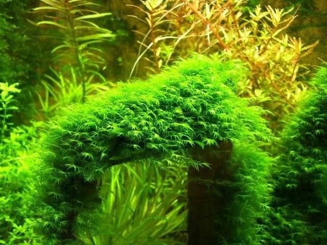 Мох феникс в аквадизайне