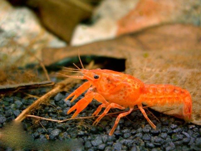 Оранжевый карликовый рак