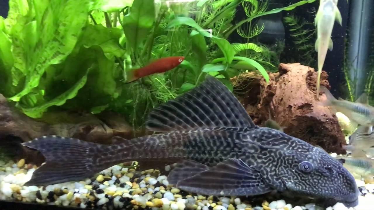 Плекостомус в аквариуме