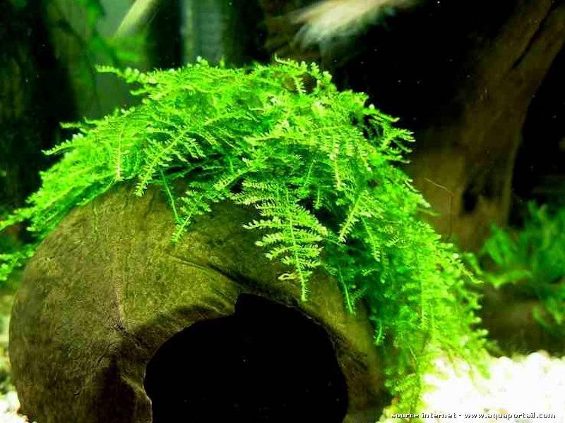 Рождественский мох в акваскейпинге