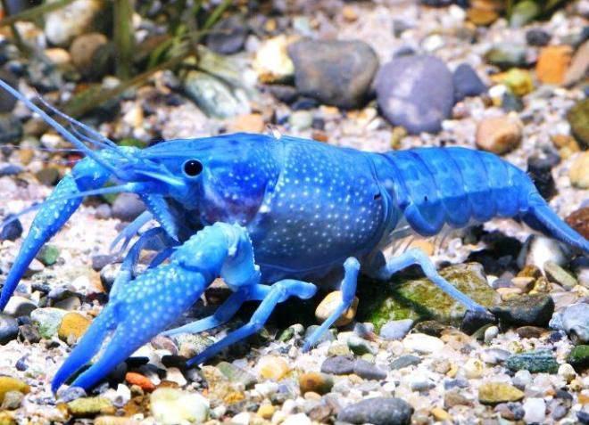 Синий карликовый рак