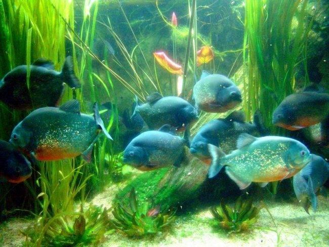 Содержание пираний в аквариуме