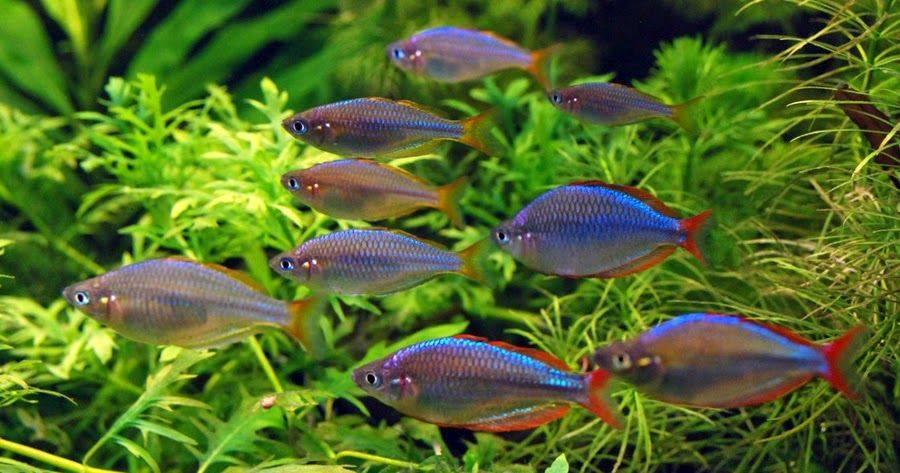 Стайные рыбки для акваскейпинга