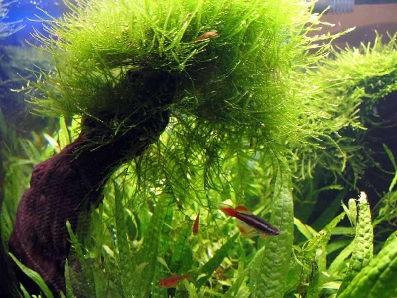 Содержание яванского мха в аквариуме