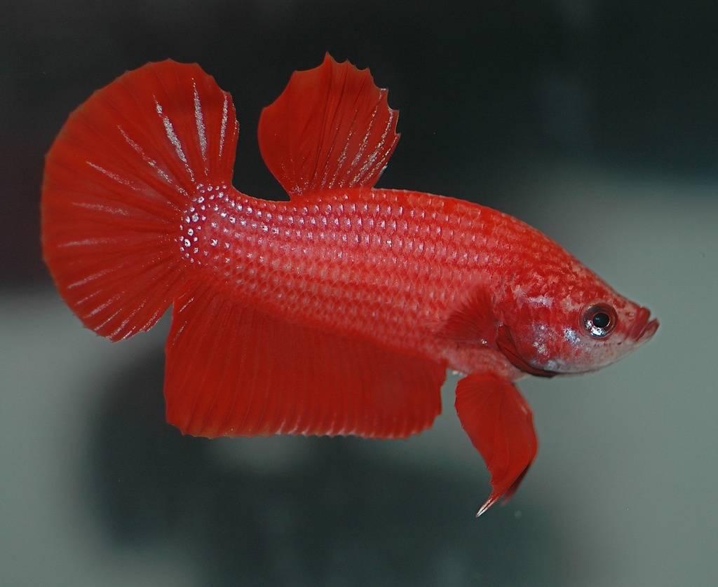 Описание рыбки-петушка