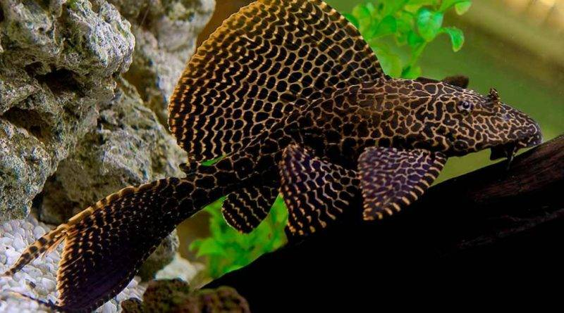Птеригоплихт парчовый - аквариумный сом