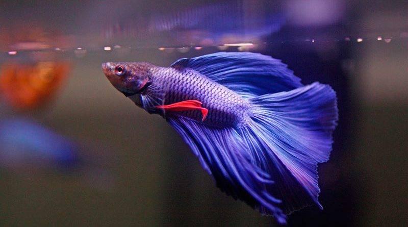 Рыбки-петушки