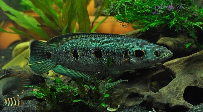 Змееголовы в аквариуме