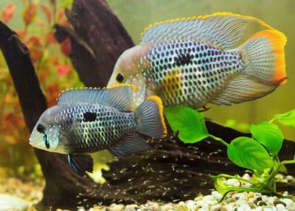 Акара бирюзовая красивая рыбка