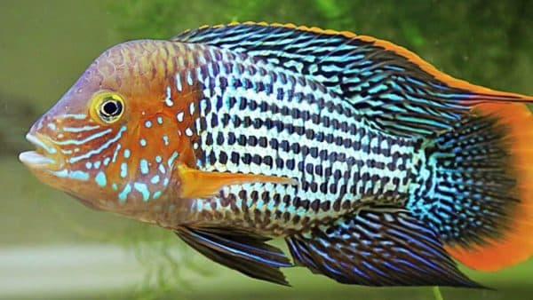 Акара бирюзовая рыбка