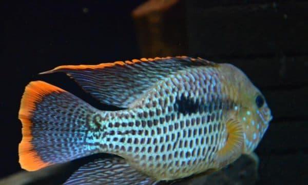 Акара бирюзовая самец
