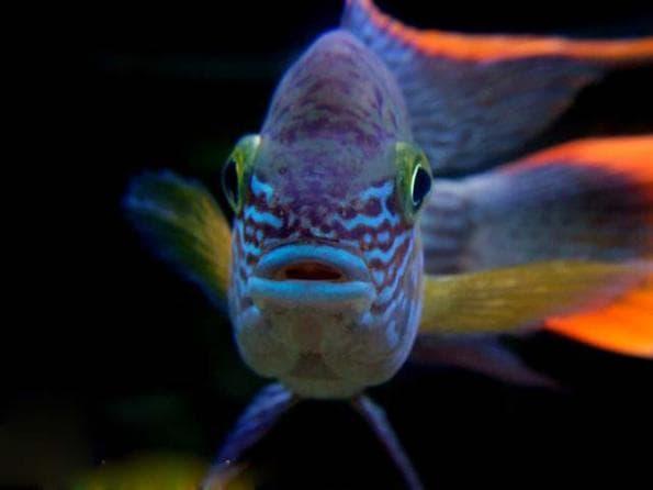 Акара бирюзовая. Содержание, фото рыбки, видео, совместимость и разведение.