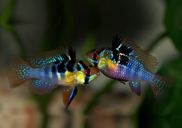 Апистограмма Рамирези описание рыбки
