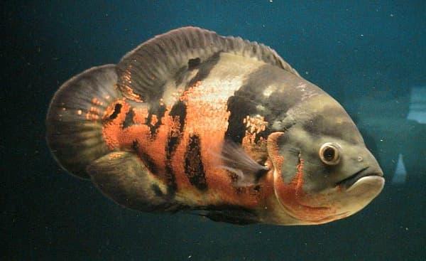 Астронотус рыбка