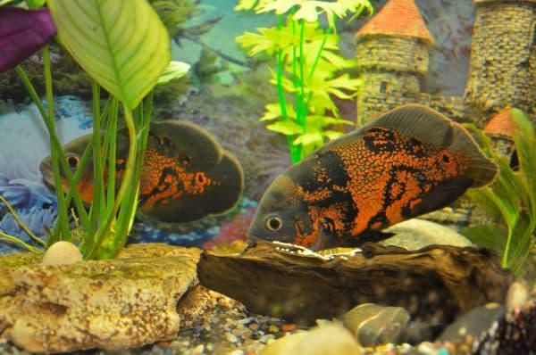Астронотусы в аквариуме