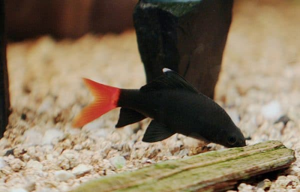 Биколор в красивом аквариуме