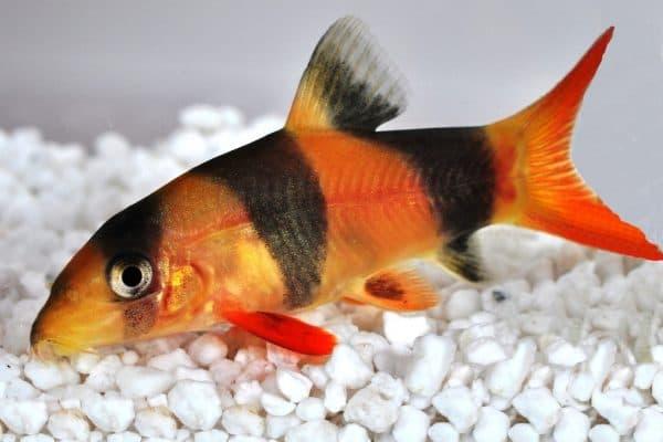 Боция клоун аквариумная рыбка