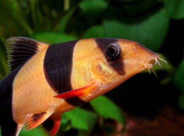 Боция рыбка