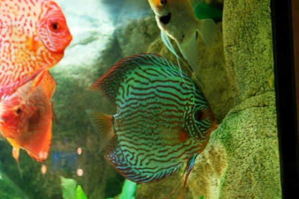 Дискус - аквариумная рыбка