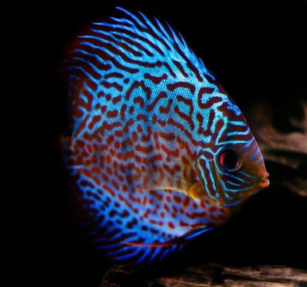 Дискусы изумительные рыбки