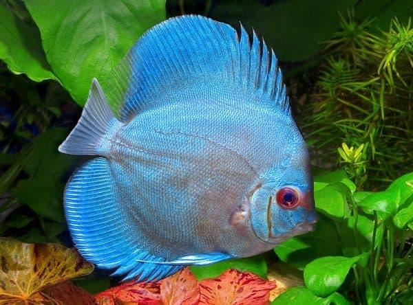 Дискусы красивые рыбки