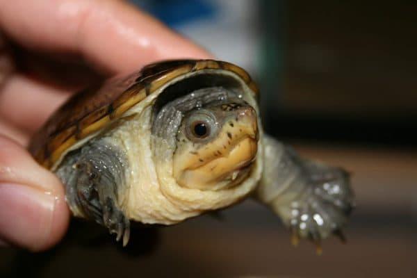 Домашние черепахи читайте статью