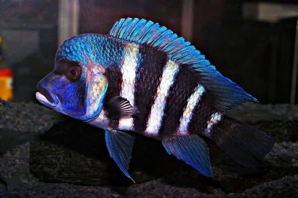 Фронтоза - восхитительная рыбка