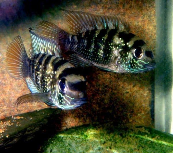 Голубовато-пятнистые акары