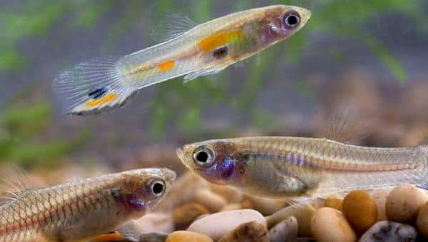 Гуппи – самые неприхотливые аквариумные рыбки