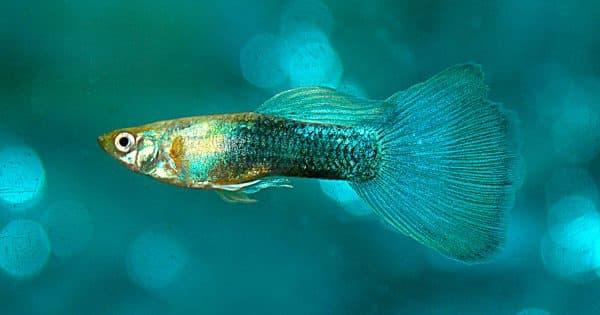 Гуппи - такие маленькие и удивительные рыбки