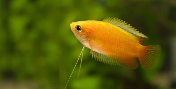 Гурами рыбка
