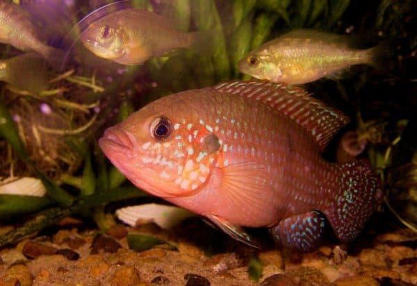 Хромис-красавец в аквариуме
