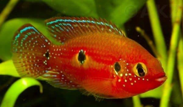 Хромисы-красавцы изумительные рыбки