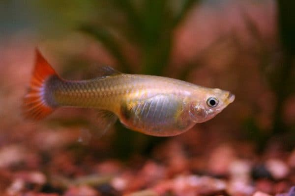Как узнать что рыбка гуппи беременна
