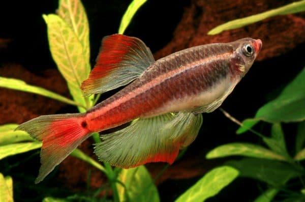 Кардинал описание рыбки